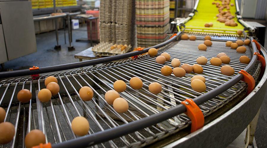 Chaîne de production d'œufs frais